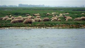 Moutons dans la Baie de Somme, en France.