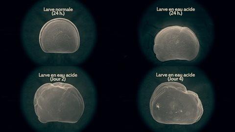 Tableau de l'évolution des larves en eaux acides.