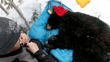 Visiter l'ours noir dans sa tanière