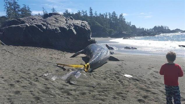 Une baleine échouée à Ucluelet en C.-B.