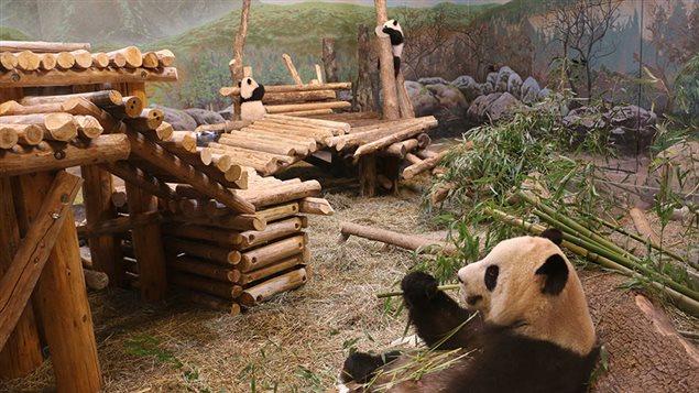 La famille de pandas hébergée au zoo de Toronto déménagera à Calgary en 2018.