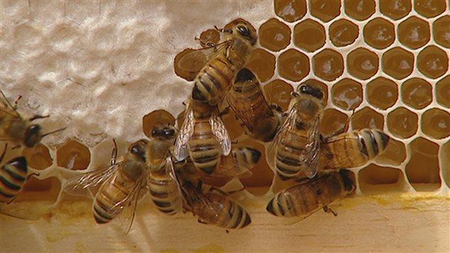 Certaines abeilles de l'Ontario sont contaminées par un parasite.