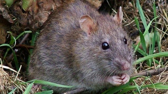 Un rat brun