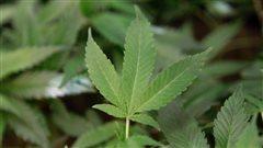 Un comité de travail pour la légalisation de la marijuana