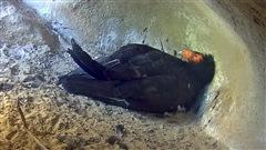 Le miracle des bébés condors en direct sur Internet