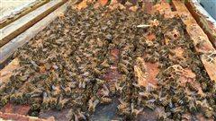 Vol de 184 ruches à Saint-Valère: un suspect arrêté