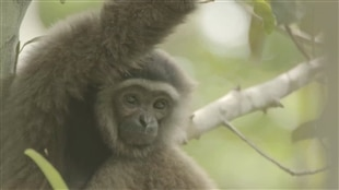 Le gibbon, une espèce menacée, est l'anthropoïde le plus primitif et le plus petit. Le zoo du parc Assiniboine accueillera deux jeunes gibbons cet automne.