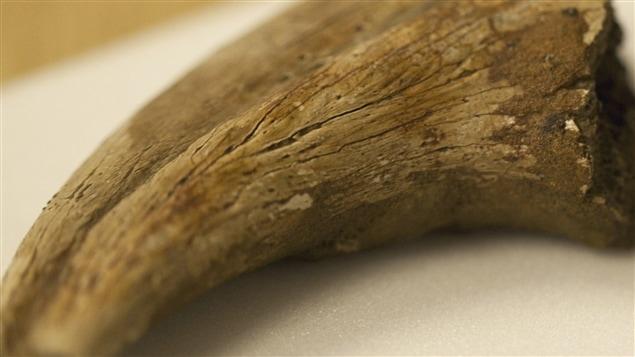 Des chercheurs ont découvert des globules rouges préservés dans cette griffe de dinosaure trouvée il y a 100 ans.