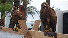 Les faucons de la Croisette