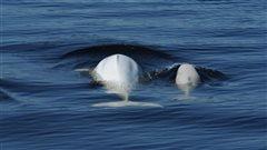 Un organisme veut la création de zones maritimes protégées pour les bélugas
