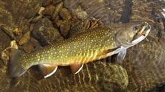 Pêche : la truite mouchetée meurt malgré la remise à l'eau