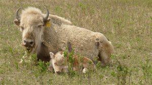 La naissance rare d'un bison blanc attire les visiteurs au Manitoba
