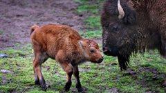 Un petit bison de Yellowstone euthanasié à cause d'un Québécois