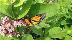 L'asclépiade pour aider les papillons monarques