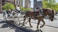 Les caléchiers pas tous bien renseignés sur l'histoire de Montréal