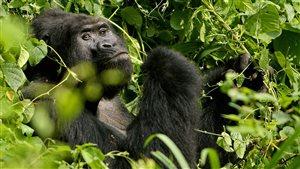 La hausse des températures risque de réduire l'étendue de la forêt de Bwindi, en Ouganda, célèbre pour les gorilles de montagne qu'elle abrite, note le rapport.