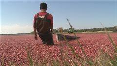 Insecte ravageur : des producteurs de canneberges aux aguets