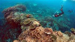 Hécatombe de coraux sur la Grande barrière australienne