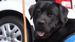 Un chien auService de police de Sherbrooke pour réconforter les victimesà lacour