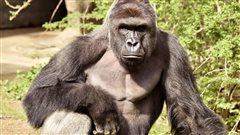Le zoo de Cincinnati se défend d'avoir abattu un gorille pour sauver un enfant