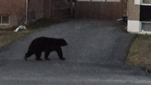 Un ours dans un quartier résidentiel de Sudbury.