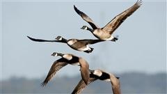 Bernaches urbaines : des oiseaux en passe de devenir nuisibles