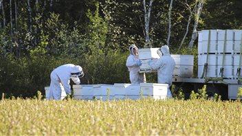 Une armée d'abeilles débarquent au Lac-Saint-Jean au service des producteurs de bleuets