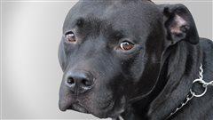Non à l'interdiction des pitbulls, recommandera un groupe de travail