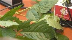 Mythes et réalités au sujet des plantes grimpantes