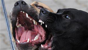 Deux pitbulls la gueule ouverte