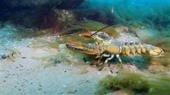 Des chercheurs de l'UQAR étudient l'impact de l'acidification des océans sur le homard