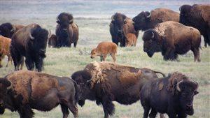 L'industrie du bison au Manitoba se porte bien