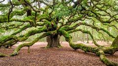 Les vieux arbres et la longévité