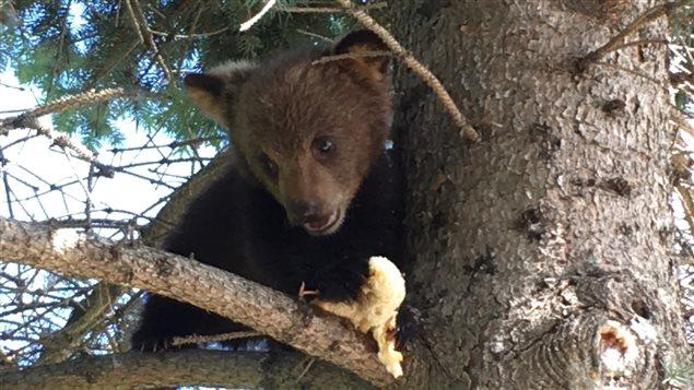 Un ourson dans un arbre