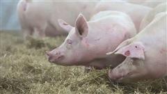 Le porc au Québec, de plus en plus aimé