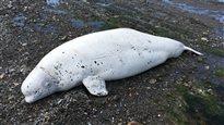 La carcasse de béluga retrouvée à Sainte-Flavie