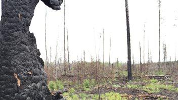 La forêt près de La Ronge, un an après les grands feux
