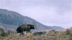 Un cycliste tué par un ours dans le nord du Montana
