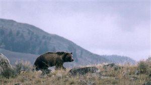 Un grizzly marche le long d'une crête au Montana.