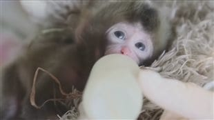 Bébé macaque japonais au Zoo de Granby