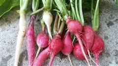 Cuisiner le radis : des idées faciles et originales