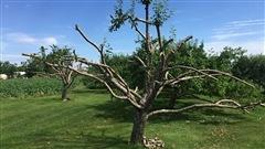 Épidémie de brûlure bactérienne: Québec soutient les pomiculteurs des Laurentides