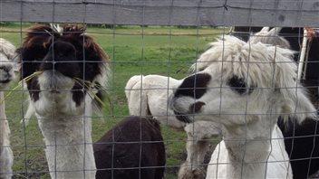 Une journée à la ferme : <em>Dan Di Alpacas</em> avec Diane Girouard