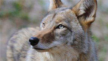 De plus en plus de coyotes aperçus sur l'île de Montréal