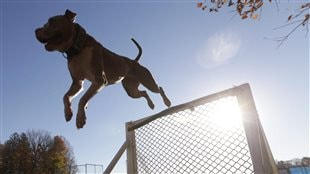 Un pitbull franchit un saut d'obstacle.