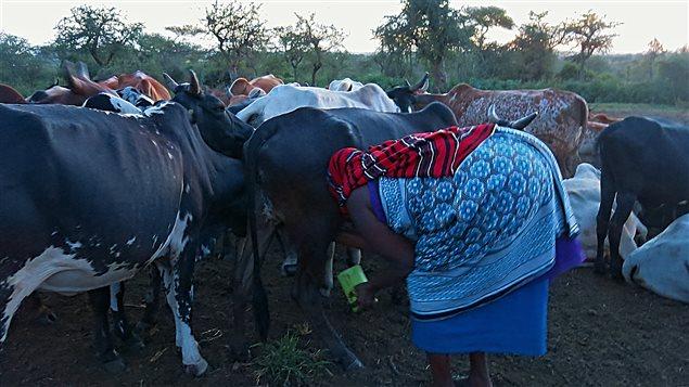 La traite des vaches chez les Massaïs.