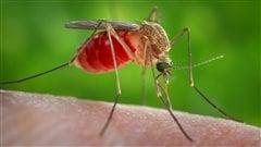 Une seconde espèce de moustique pourrait être un vecteur du virus Zika