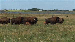 Quatre bisonneaux des bois nés par fécondation in vitro à Saskatoon.