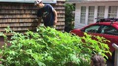 Remplacer sa pelouse par des pommes de terre