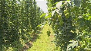 La culture du houblon est à la hausse en Ontario.